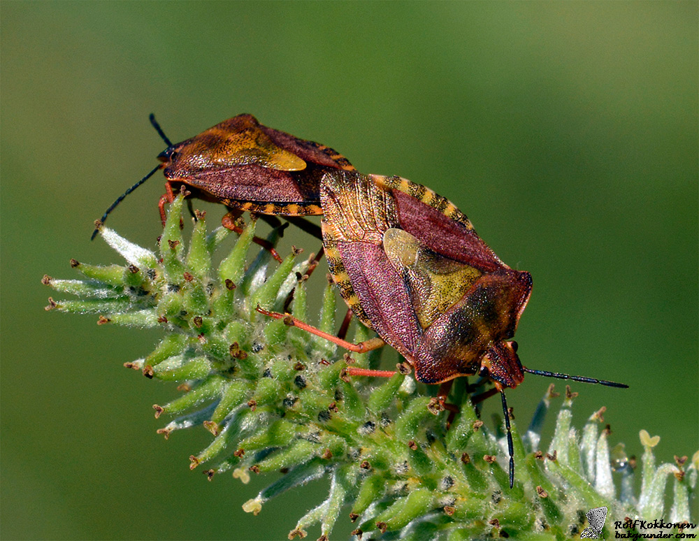 Purpurbärfis Carpocoris purpureipennis