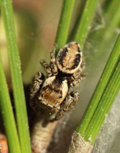 Brokhoppspindelhane (Evarcha falcata)