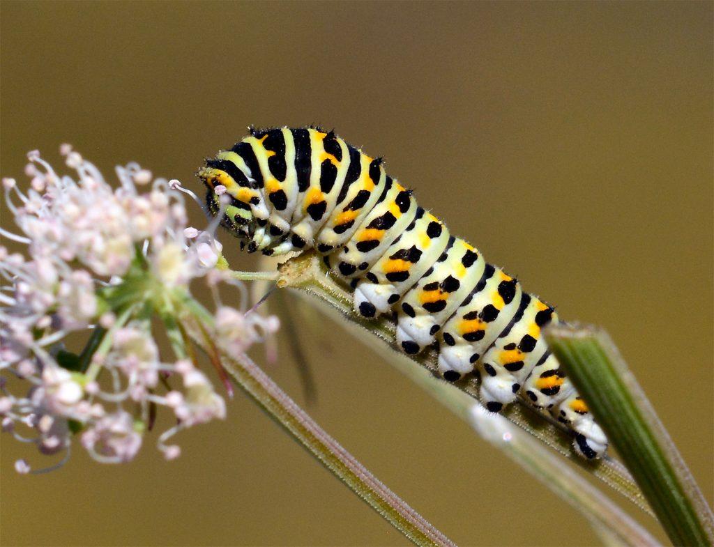 Andra stadiet på Makaonfjäril Papilio machaon