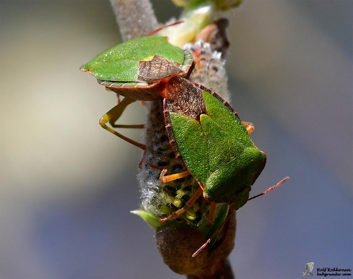 Grön bärfis Palomena prasina parning