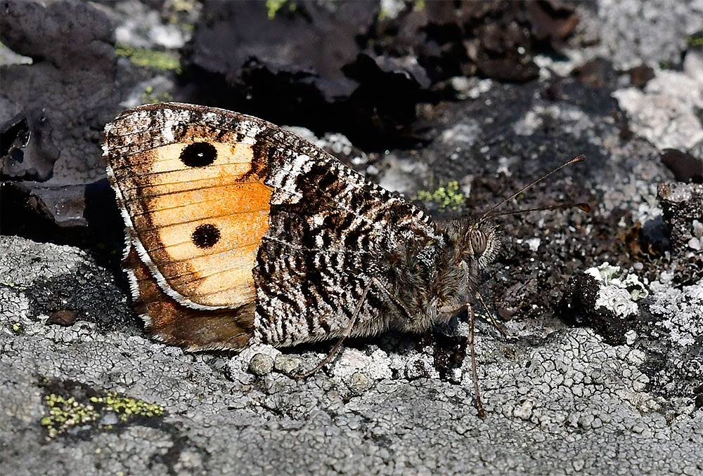 Sandgräsfjäril Hipparchia semele