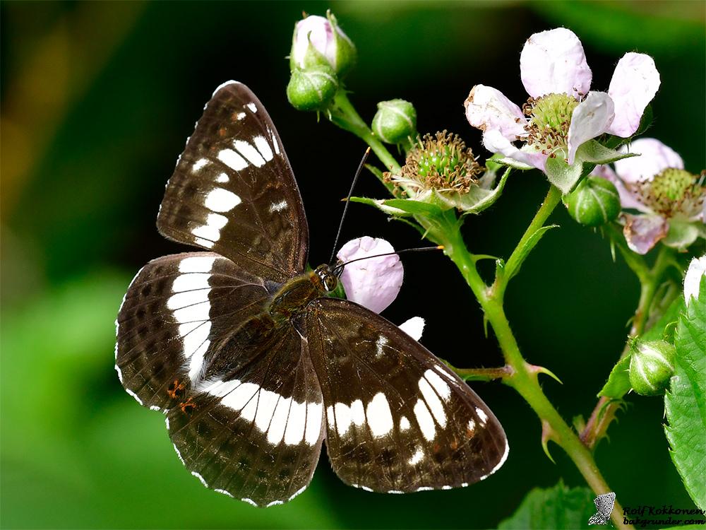 Tryfjäril Limenitis camilla