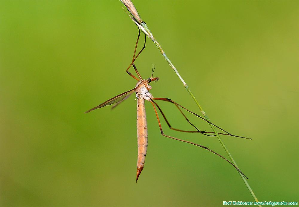 Harkrankar - storvuxna men okända tvåvingar @ Naturcentrum